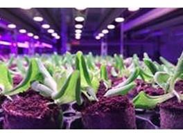 Компания Signify помогла создать благоприятные условия для выращивания орхидей и латука на Тайване