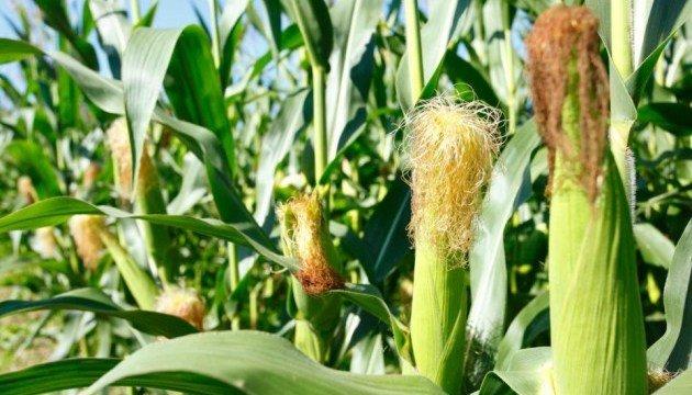 В Украине ожидается рекордный урожай кукурузы